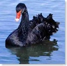 Black_Swan06