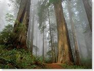 fondo-bosque-de-secuoyas