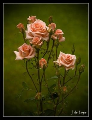 Resultado de imagen para rosal