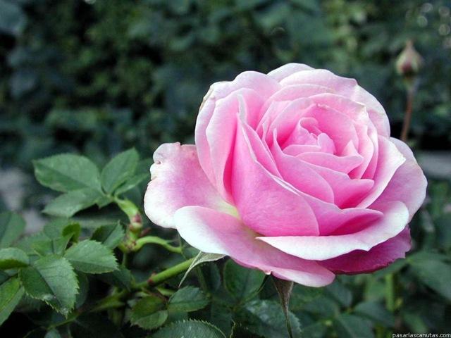 La rosa y el cardo jos rosas en clave de ni os - Fotos de rosas de colores ...