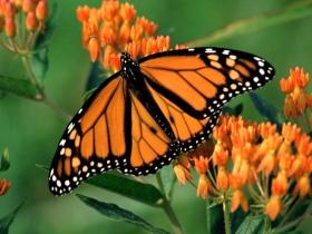 mariposa-anaranjada