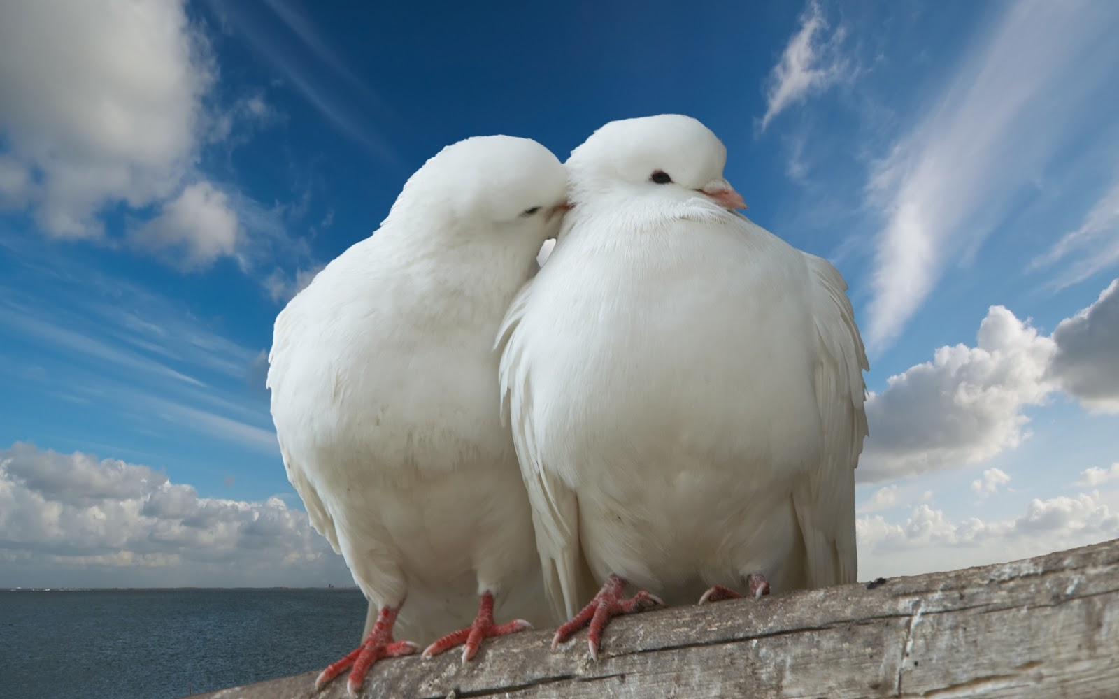 White Love Birds