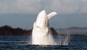 ballena-blanca-1