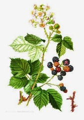 ZARZA_Rubus_fruticosus_1