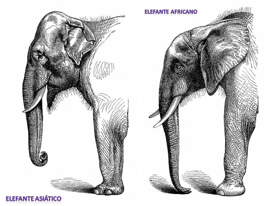 elefante africano  En Clave de Nios